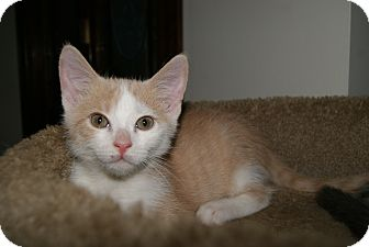 Domestic Shorthair Kitten for adoption in Trevose, Pennsylvania - Bailey