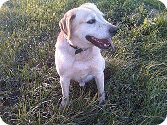 Golden Retriever Mix Dog for adoption in Wapato, Washington - Marty