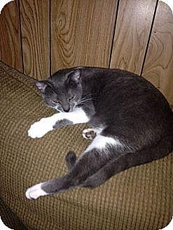 Domestic Shorthair Cat for adoption in Baton Rouge, Louisiana - Cami