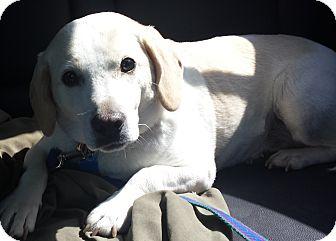 Labrador Retriever/Beagle Mix Dog for adoption in Palatine, Illinois - Madison