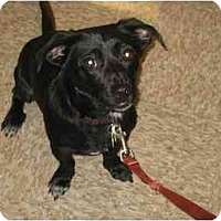 Adopt A Pet :: Klinger - Scottsdale, AZ