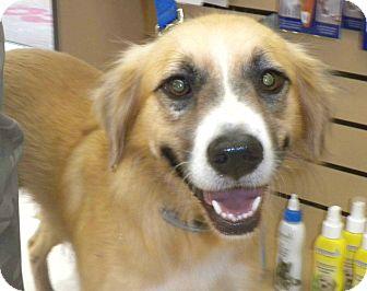 Border Collie/Labrador Retriever Mix Dog for adoption in Homestead, Florida - Cody (CL)