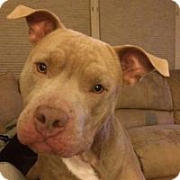 Adopt A Pet :: Wilson - Seattle, WA