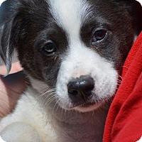 Adopt A Pet :: Devlin - Wimberley, TX