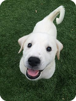 Great Pyrenees/Golden Retriever Mix Puppy for adoption in Chandler, Arizona - Circe