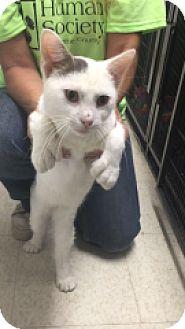 Domestic Shorthair Cat for adoption in Monroe, Michigan - Mittins