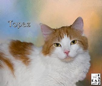 Domestic Longhair Cat for adoption in Albuquerque, New Mexico - Topaz