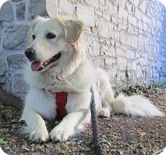 Labrador Retriever/Great Pyrenees Mix Dog for adoption in Toronto, Ontario - Lita