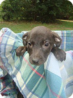 Hound (Unknown Type)/Terrier (Unknown Type, Medium) Mix Puppy for adoption in Old Bridge, New Jersey - Cheyann