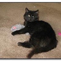Domestic Longhair Cat for adoption in Hamilton, New Jersey - ACE