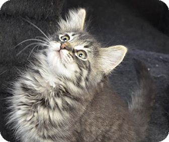 Maine Coon Kitten for adoption in Davis, California - Brody
