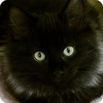 Domestic Longhair Kitten for adoption in Burlington, Ontario - Elijah