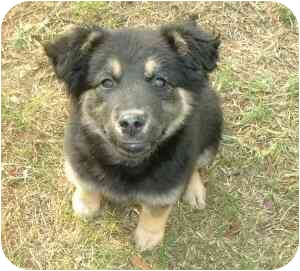 Airedale Terrier/German Shepherd Dog Mix Puppy for adoption in Lake Charles, Louisiana - Lizzie