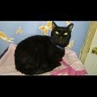 Domestic Shorthair Cat for adoption in Memphis, Tennessee - Buster
