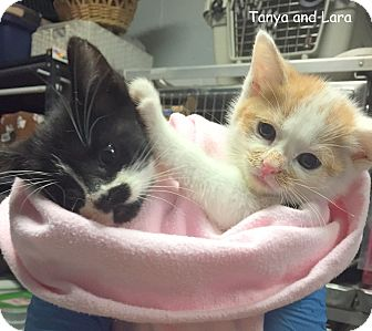 Domestic Mediumhair Kitten for adoption in Cliffside Park, New Jersey - TANYA