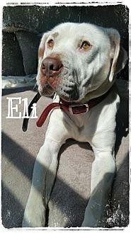 Bulldog Mix Dog for adoption in Plainfield, Illinois - Eli
