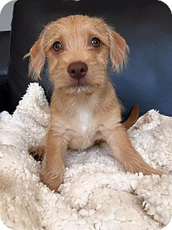 Fox Terrier (Wirehaired) Mix Puppy for adoption in CUMMING, Georgia - Brad