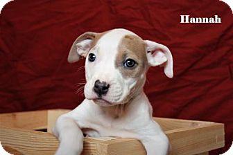 Labrador Retriever Mix Puppy for adoption in Westminster, Colorado - Hannah