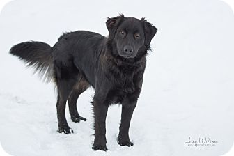 Golden Retriever/Labrador Retriever Mix Dog for adoption in Drumbo, Ontario - Samsan
