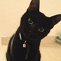 Domestic Shorthair Cat for adoption in Montreal, Quebec - Pepper Baby