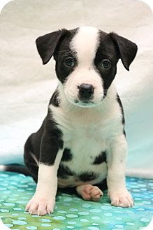 American Pit Bull Terrier/Border Collie Mix Puppy for adoption in Southington, Connecticut - Havan