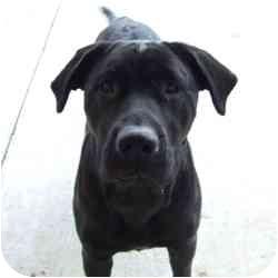 Labrador Retriever Mix Dog for adoption in Batavia, Ohio - Justine