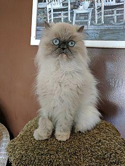 Persian Cat for adoption in Toledo, Ohio - Tinkerbella