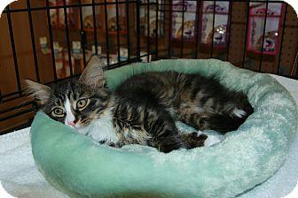 Domestic Longhair Kitten for adoption in Rochester, Minnesota - Carter