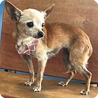 Adopt A Pet :: Miss Ellie - Garland, TX