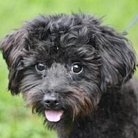 Adopt A Pet :: Bingo - ADOPTION IN PROGRESS - Danbury, CT