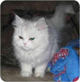 Persian Kitten for adoption in Hammonton, New Jersey - Misty