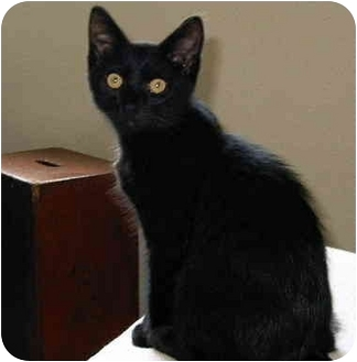 Domestic Shorthair Cat for adoption in San Clemente, California - ONYX = Adopted 10/6/2009