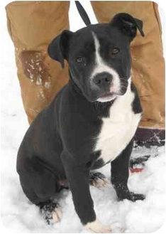 Boxer Mix Dog for adoption in Florence, Indiana - Spyder