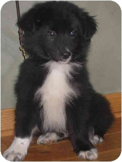 Border Collie Mix Puppy for adoption in Milford, New Jersey - Dean