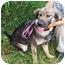 Photo 2 - German Shepherd Dog Mix Puppy for adoption in Waterbury, Connecticut - Sarah