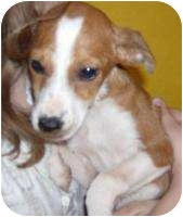 Collie/Terrier (Unknown Type, Small) Mix Puppy for adoption in Edon, Ohio - Destiny..ADOPTED