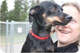 Miniature Pinscher/Chihuahua Mix Dog for adoption in Libby, Montana - Paige