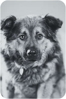 German Shepherd Dog/Chow Chow Mix Dog for adoption in Portland, Oregon - Hunter