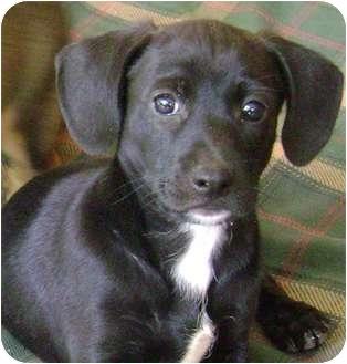 Dachshund/Hound (Unknown Type) Mix Puppy for adoption in Lincolnton, North Carolina - Woodie