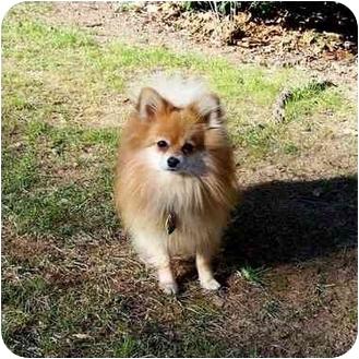 Pomeranian Dog for adoption in Roebuck, South Carolina - Ben adopted