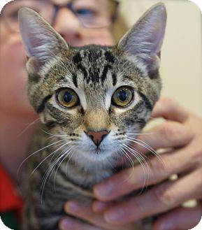 Domestic Shorthair Cat for adoption in Houston, Texas - Marko