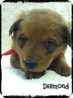 German Shepherd Dog/Labrador Retriever Mix Puppy for adoption in Glastonbury, Connecticut - Desmond