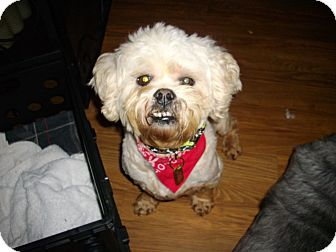 Lhasa Apso Mix Dog for adoption in Sheridan, Oregon - Clyde