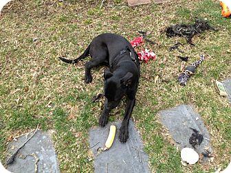 Labrador Retriever/Boxer Mix Puppy for adoption in North Brunswick, New Jersey - Thelma
