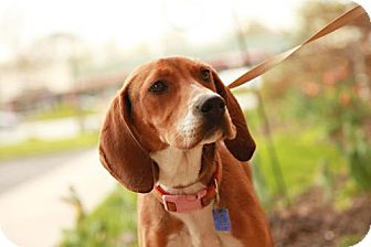Hound (Unknown Type)/Coonhound Mix Dog for adoption in Lancaster, Ohio - Hannah
