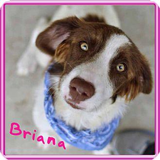 Brittany Mix Dog for adoption in Corpus Christi, Texas - Briana
