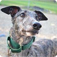 Adopt A Pet :: Starz (Starz Temper) - Chagrin Falls, OH