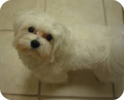 Maltese Dog for adoption in ROCKMART, Georgia - HARLEY