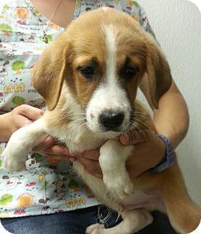 German Shepherd Dog/Collie Mix Puppy for adoption in Hammonton, New Jersey - Jared