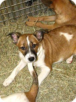Australian Cattle Dog Mix Puppy for adoption in Gainesville, Florida - Gloria